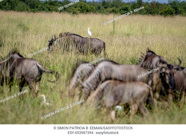 Blue wildebeests standing in the grass with a Cattle egret in the Chobe National Park, Botswana