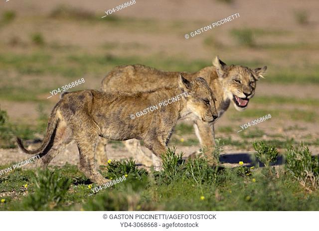 African lion (Panthera leo) -Cubs, Kgalagadi Transfrontier Park, Kalahari desert, South Africa/Botswana.