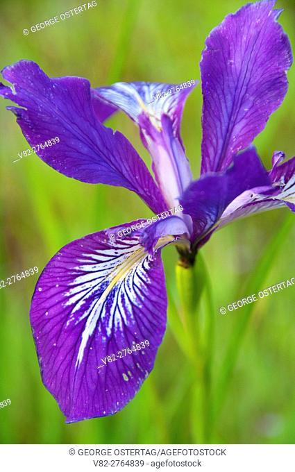 Oregon iris (Iris tenax), William Finley National Wildlife Refuge, Oregon