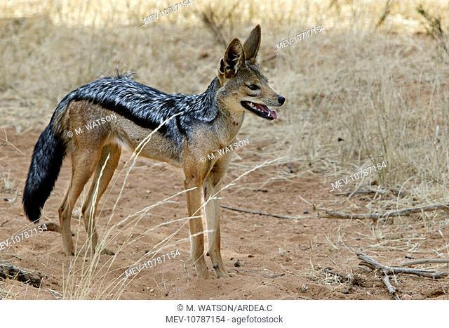 Golden / Asiatic Jackal (Canis aureus)