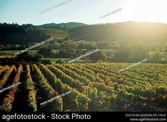 grape vineyards line rolling hills in wine country as sun sets behind