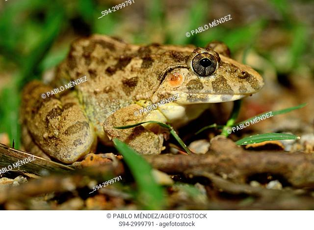 Asian grass frog (Fejervarya limnocharis) in surroundings of a pond in Kep, Cambodia