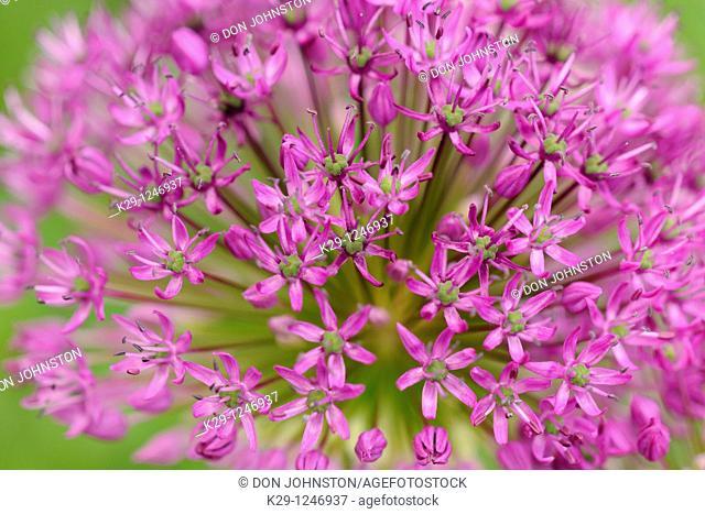 Purple sensation onion flowers Allium aflatunense