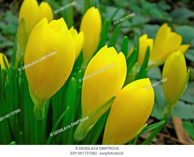 yellow crocuses in a garden in autumn