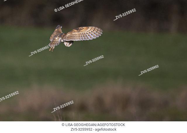 Barn Owl-Tyto alba ihovers. Winter. Uk
