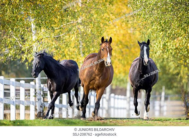 Hanoverian Horse. Three adults galloping towards the camera. Germany