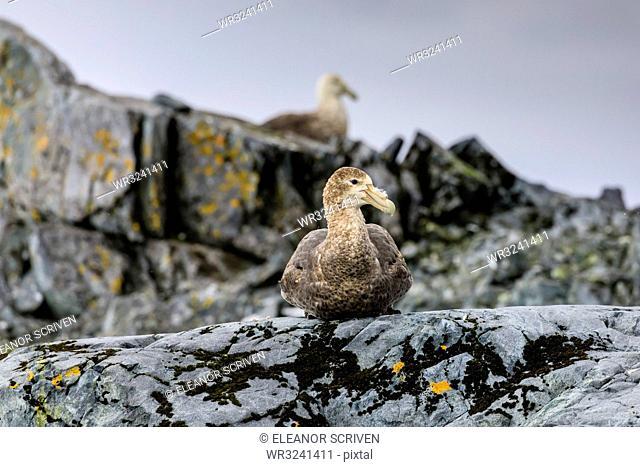 Southern Giant Petrel (Macronectes giganteus), moss covered rock, Torgersen Island, Antarctic Peninsula, Antarctica, Polar Regions
