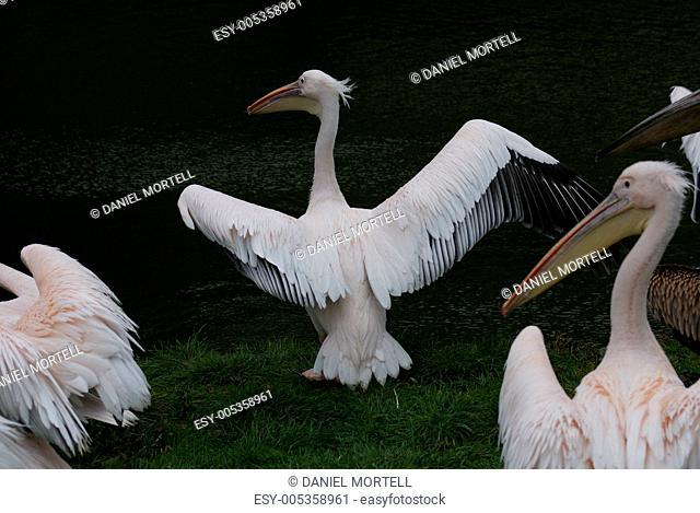 Great White Pelican - Pelecanus onocrotalus