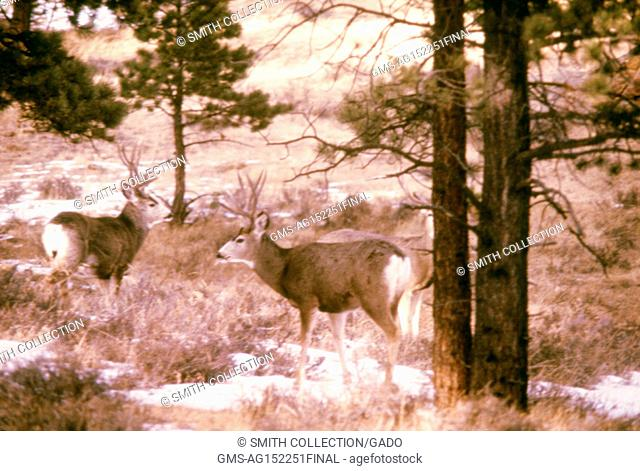 Pair of mule deer in a pine forest, plague and tick fever study, Estes Park, Colorado, 1975. Image courtesy Centers for Disease Control (CDC). ()