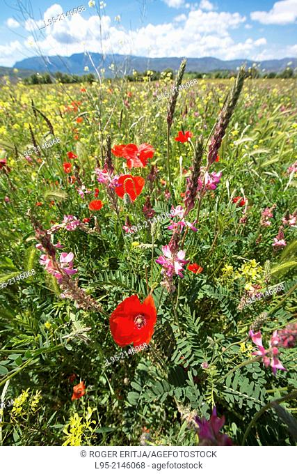 Wildflowers including red Poppies in steppic areas in spring, spain