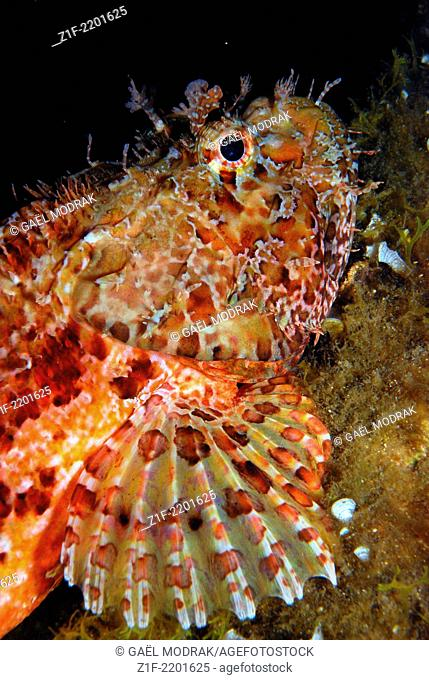Large-scaled scorpionfish trusting in it's nocturnal camouflage. Scorpaena scrofa