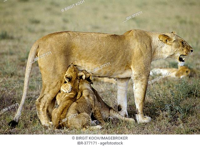 Lioness ( Panthera leo ) with two suckling cubs, Masai Mara National Reserve, Kenya