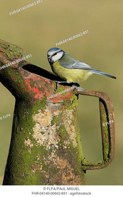 Blue Tit (Cyanistes caeruleus) adult, perched on rusted and lichen covered can, West Yorkshire, England, March