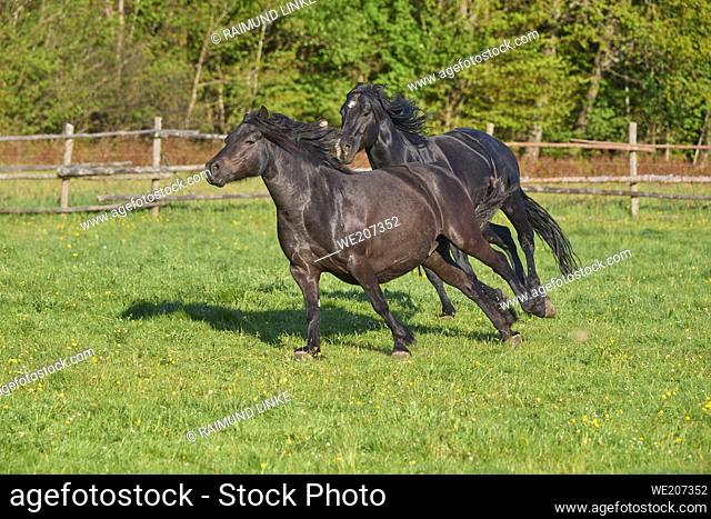 Horse, stallion chases mare across the pasture in spring
