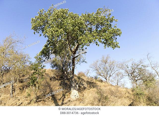 Africa, Southern Africa, South African Republic, Mala Mala game reserve, Large-leaved rock fig (Ficus abutilifolia)