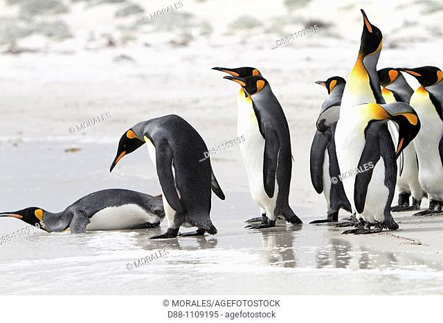 King Penguin (Aptenodytes patagonicus). Volunteer Point, East Falkland, Falkland Islands