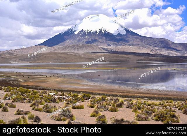 Chungara Lake with birds and Parinacota Volcano. In the foreground paja brava (Festuca orthophylla). Lauca National Park, Norte Grande de Chile