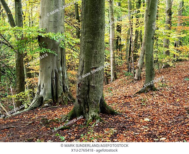 Autumn Trees in Skipton Castle Woods Skipton North Yorkshire England