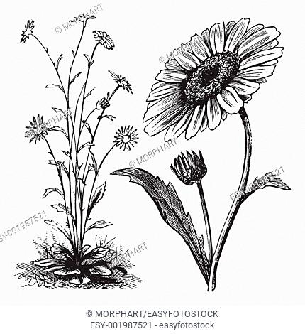 Chrysanthemum sp , vintage engraving  Old engraved illustration of a Chrysanthemum
