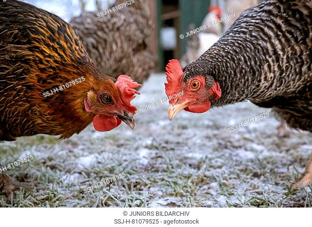 Domestic chicken. Two free-ranging hens bill-to-bill. Germany
