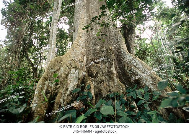 Tropical forest, Mikongo. Gabon