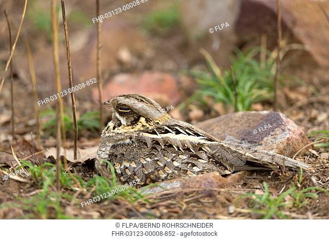 Savanna Nightjar (Caprimulgus affinis) adult, sitting on ground, Tadoba N.P., Maharashtra, India, March