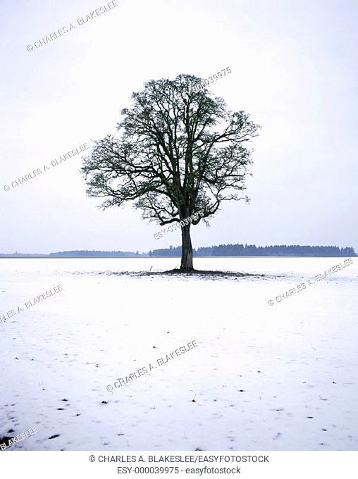 Oregon White Oak (Quercus garryana) and snow in the Willamette Valley. Linn county, Oregon. USA