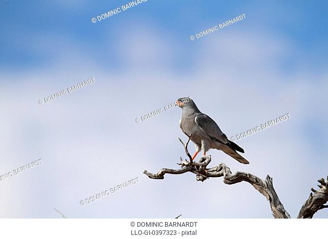 Pale chanting Goshawk in tree, Kgalagadi Park, South Africa