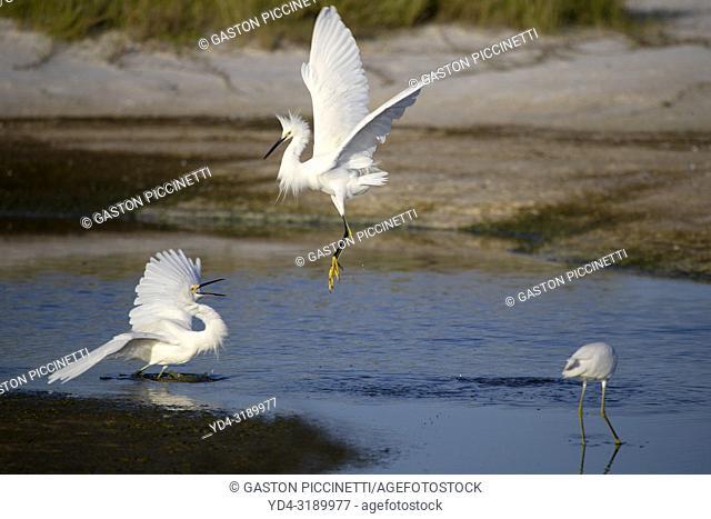 White heron (Ardea alba), fighting, Siesta Key, Sarasota, Florida, USA.