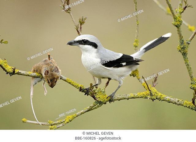 Great Grey Shrike perched Elder