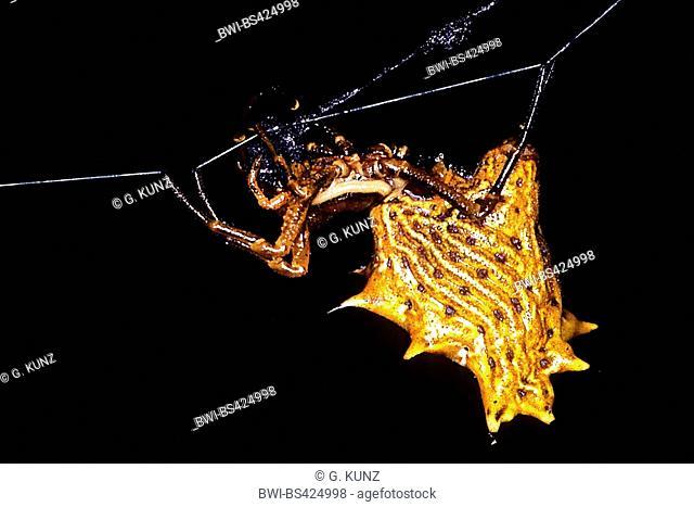 orb-weaving spider (Micrathena gracilis), in its web, Costa Rica