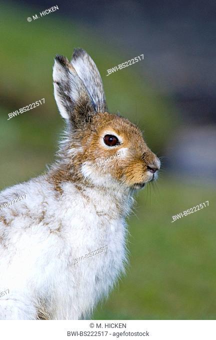 Scottish blue hare, mountain hare, white hare, Eurasian Arctic hare (Lepus timidus scotticus, Lepus scotticus), partial winter coat, United Kingdom, Scotland