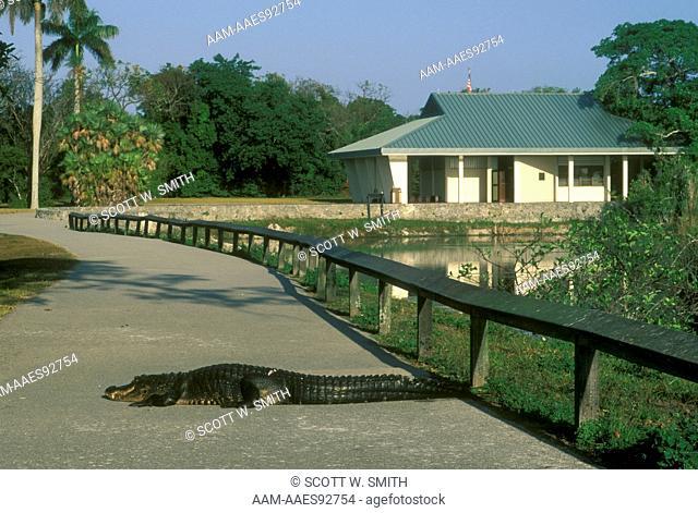 Alligator on hiking trail Anhinga Trail Everglades NP - Florida