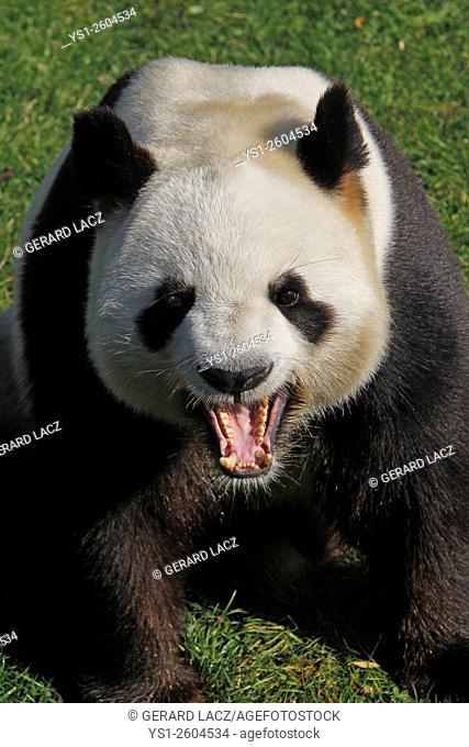 Giant Panda, ailuropoda melanoleuca, Adult Yawning, Asia