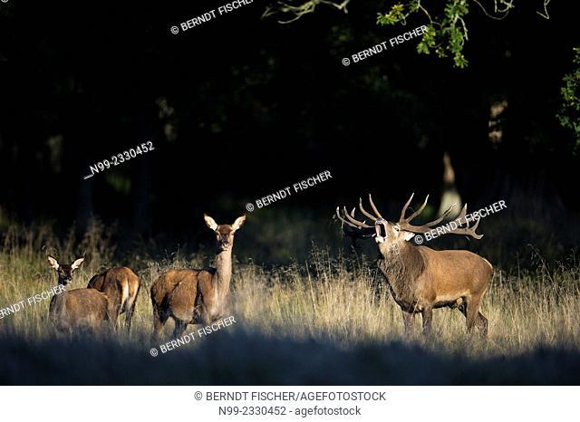 Red deer (Cervus elaphus), rut, stag with several does, Denmark