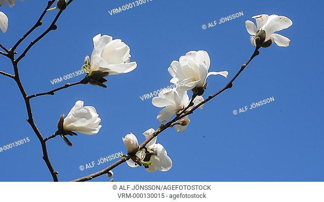 """Japanese magnolia (Magnolia loebneri """"Merrill"""")"""