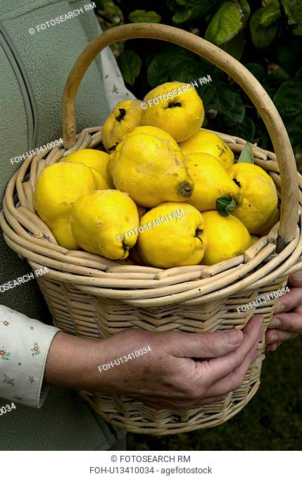 Woman's hands holding basket full of Quinces