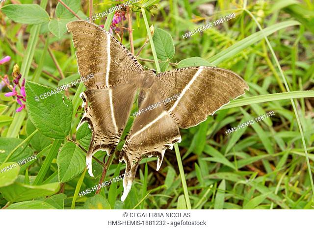 Indonesia, Sumatra Island, Aceh province, Giant Butterfly close to Burni Telong Volcano
