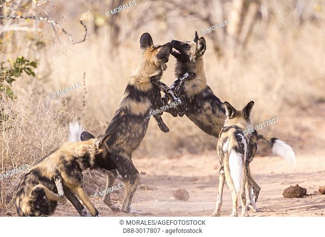Africa, Southern Africa, South African Republic, Mala Mala game reserve, African wild dog or African hunting dog or African painted dog (Lycaon pictus), adults