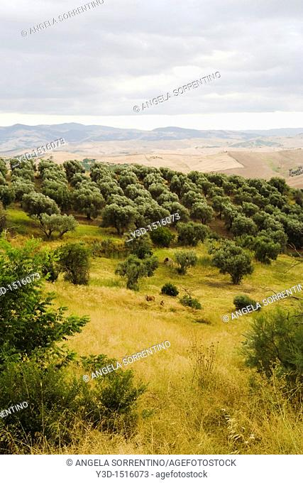 Olive tree cultivation under cloudy sky, Basilicata, Italy