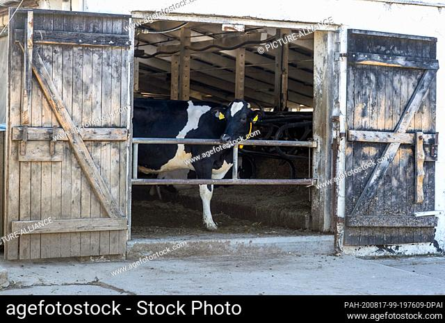 13 August 2020, Mecklenburg-Western Pomerania, Groß Grenz: A cow looks out of an open barn door on the premises of the GGAB agricultural farm