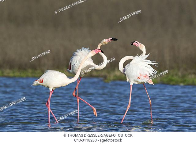 Greater Flamingo (Phoenicopterus roseus). A pair on the left quarrels with a solitary male. At the Laguna de Fuente de Piedra near the town of Antequera