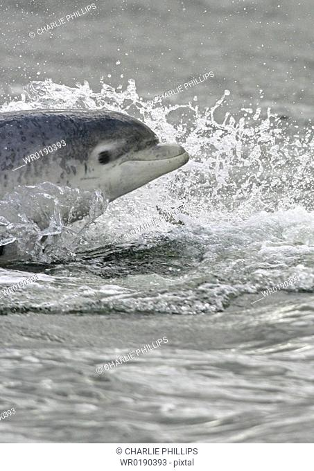 Bottlenose dolphin Tursiops truncatus truncatus surfacing at speed looking towards camera Moray Firth, Scotland A4 only