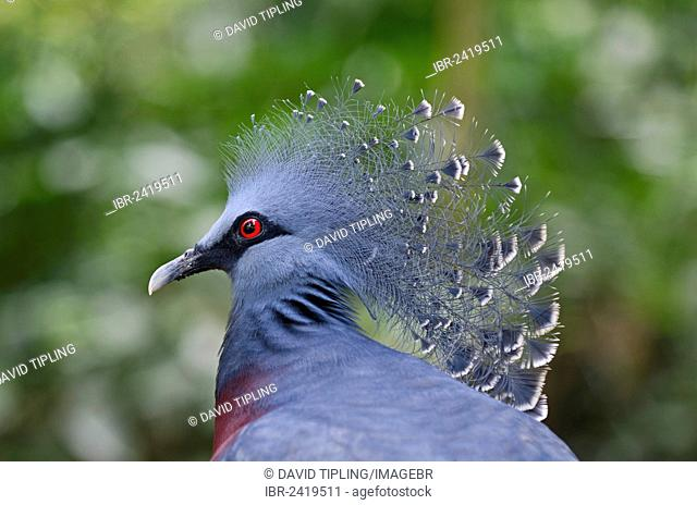 Victoria Crowned Pigeon (Goura victoria), New Guinea