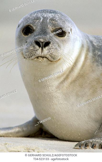 Commom Seal ( Harbour Seal ). Phoca vitulina. N.P. Wadden Sea. Schleswiog-Holstein, Germany