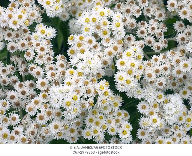 Anaphalis commonly known by the name pearl or pearly everlasting