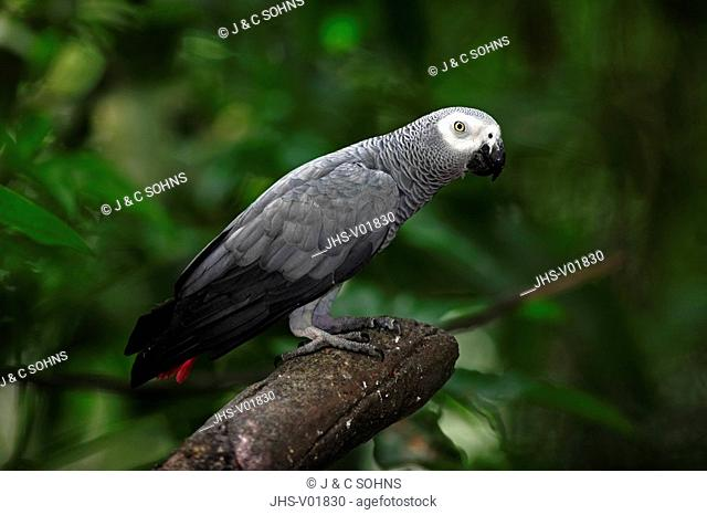 Grey Parrot,Psittacus erithacus timneh,West Africa,Central Africa,adult on tree