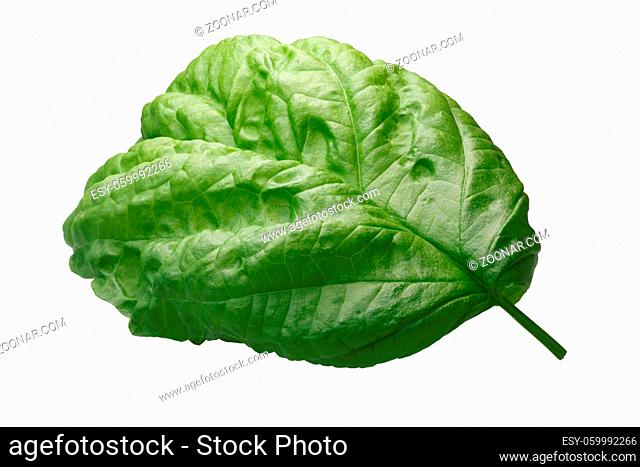 Giant-leaved Basil leaf known as Bolloso Napoletano, Valentino, Lettuce Leaf (Ocimum basilicum). Clipping path, shadowless, daylight color appearance
