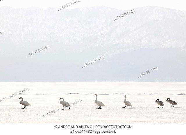 Whooper Swan (Cygnus cygnus) group walking in line over frozen Lake, Lake Kussharo, Akan National Park, Hokkaido, Japan.