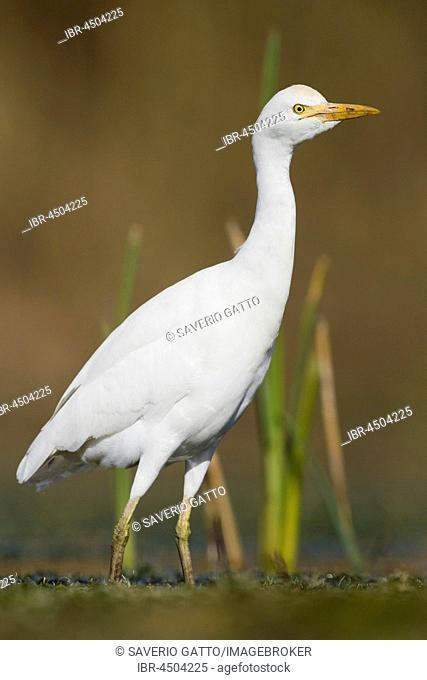 Cattle Egret (Bubulcus ibis), standing in a swamp, Campania, Italy
